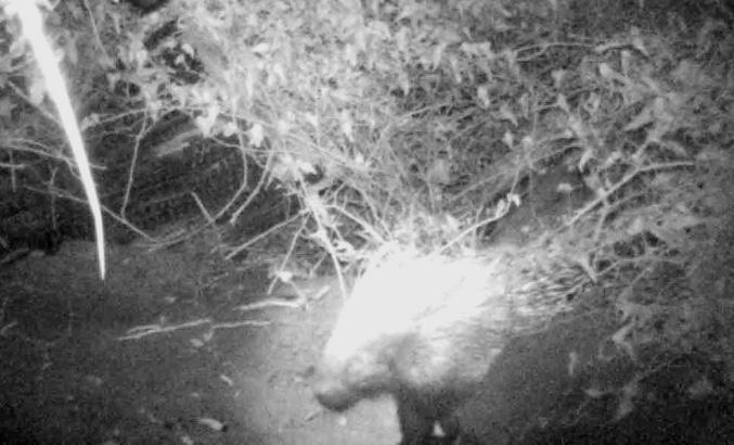 Il progetto fauna continua: fototrappolato un istrice