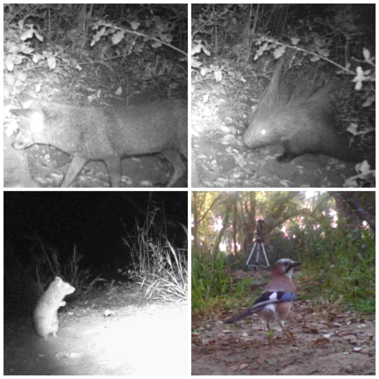 La vita del bosco: tra istrici, volpi e ghiandaie
