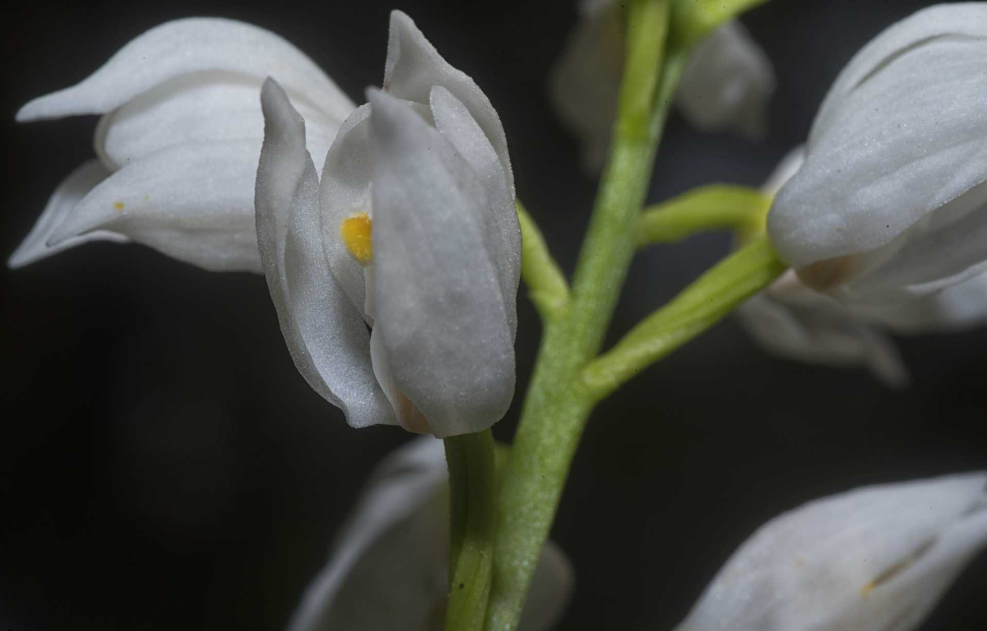 La Cephalanthera longifolia, l'orchidea che fiorisce dopo 11 anni