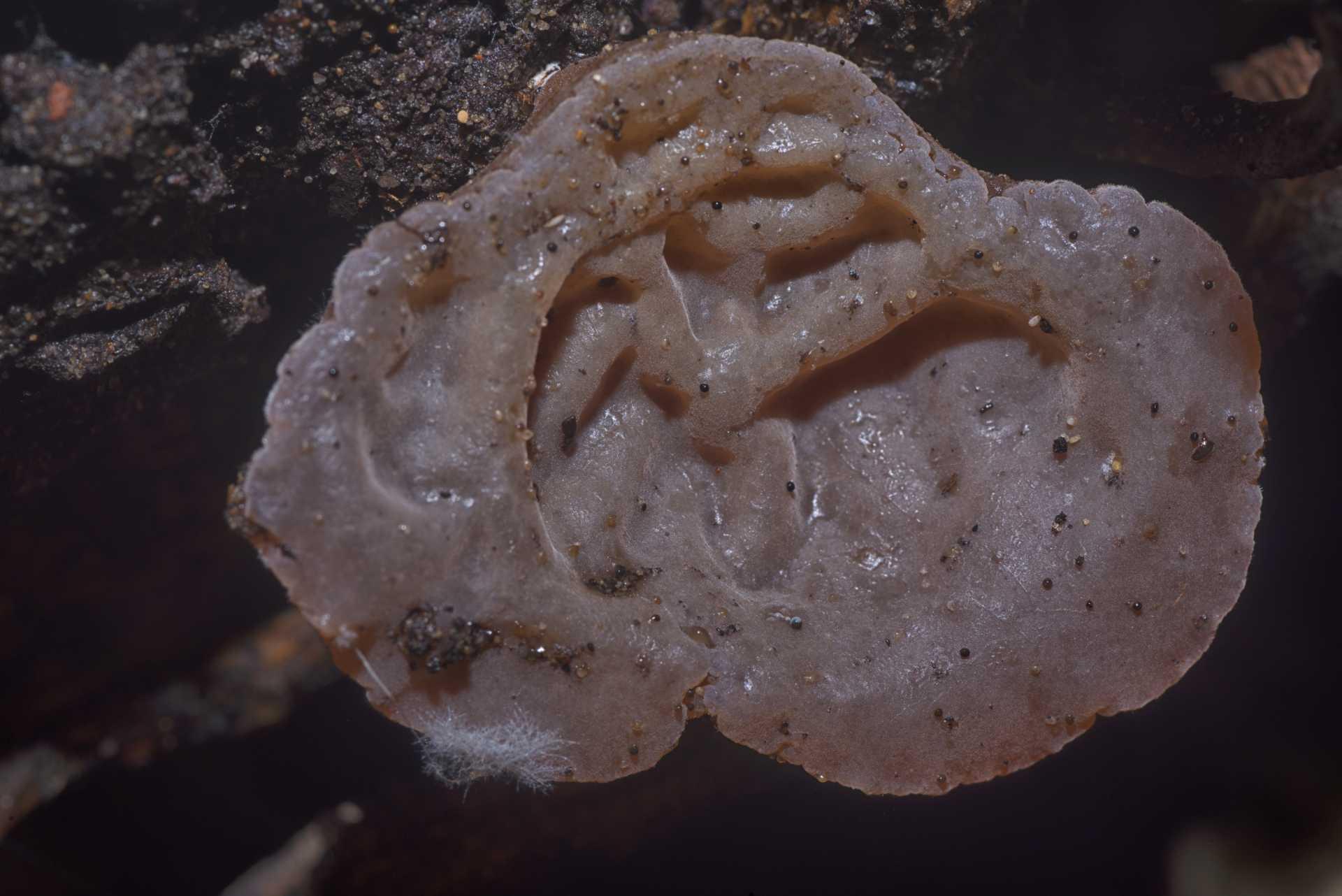 L'orecchietta di Giuda, il fungo da cercare sul legno morto