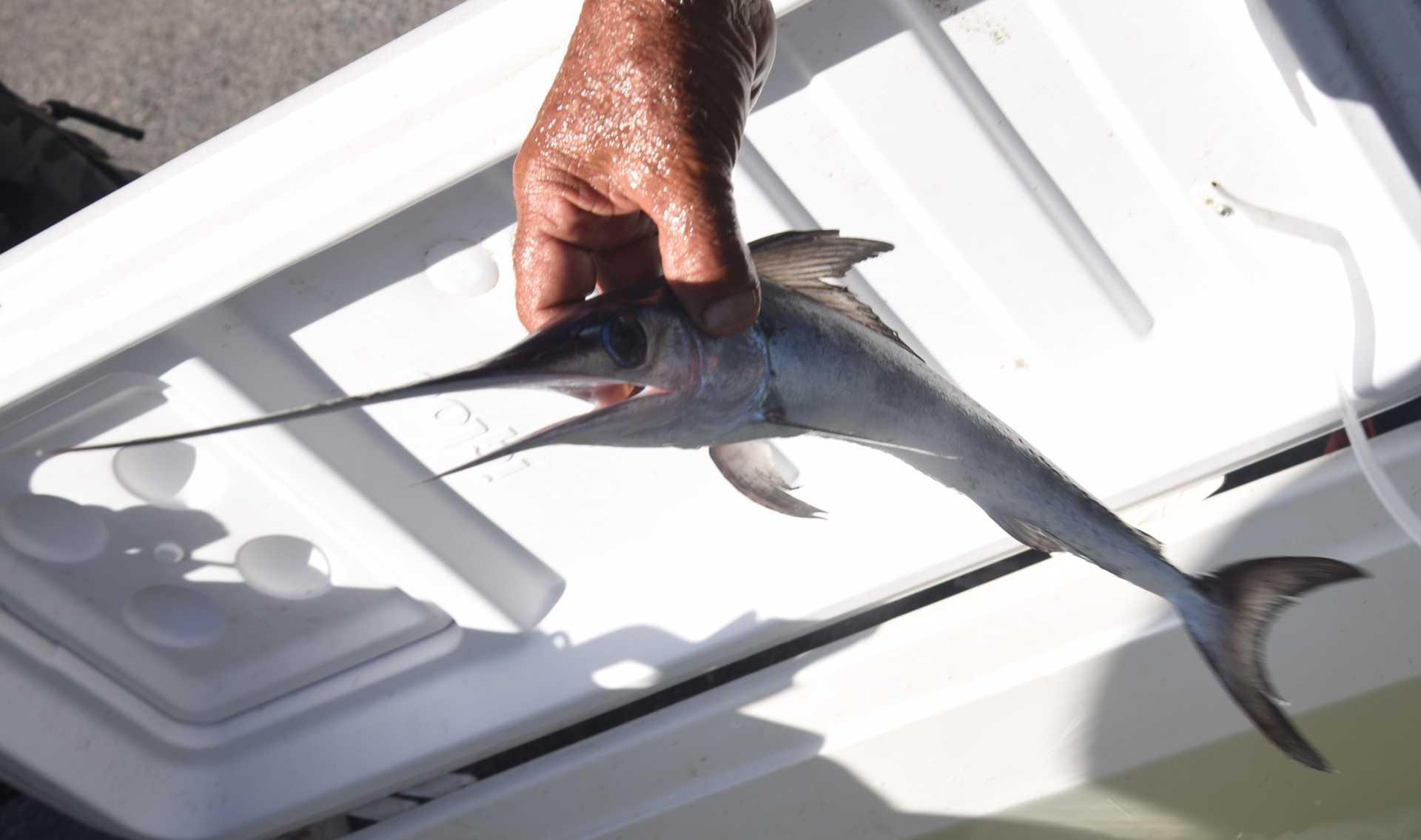 Incredibile: un piccolo di pesce spada nel Canale dei Pescatori