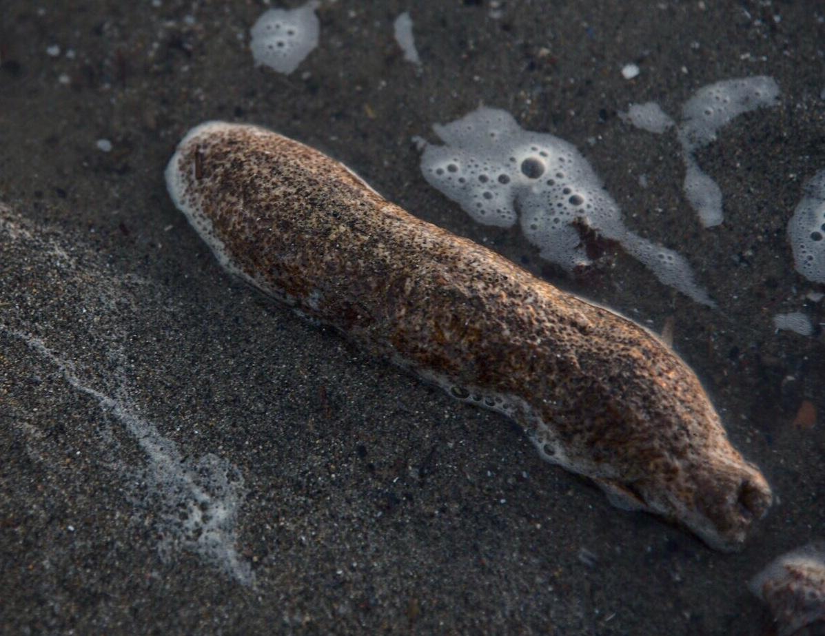 Le oloturie o cetrioli di mare
