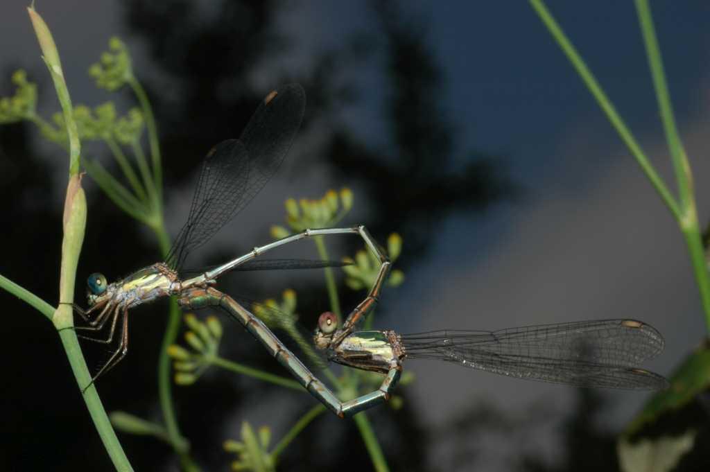 Nicole e i suoi amici insetti: la libellula