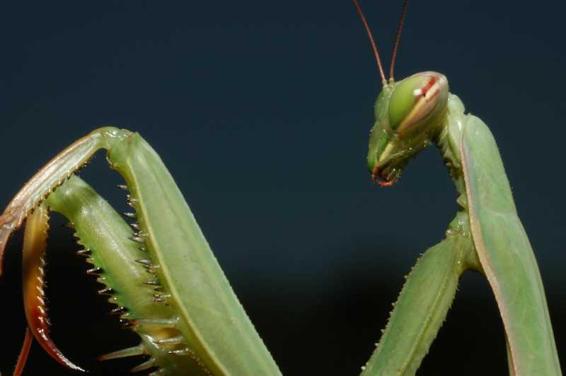 Nicole e i suoi amici insetti: la mantide religiosa